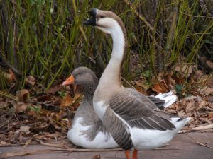 Duck or Goose?